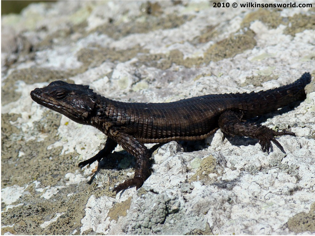 Agamas And Lizards