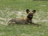 Wild dog at Mudumu
