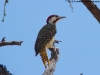 Bennetts woodpecker
