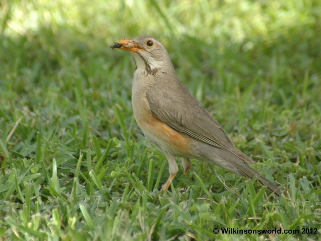 The kurrichane thrush is usually found singly and forages mainly on