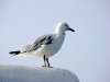 Hartlaub's gull