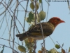 Red-headed weaver