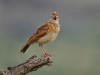 Rufus-naped lark
