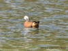 South African shelduck