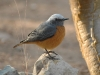 Short-toed rock-thrush
