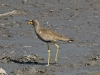 Wattled plover