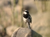 African pied-wagtail