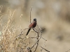 1012902 Black-faced waxbill
