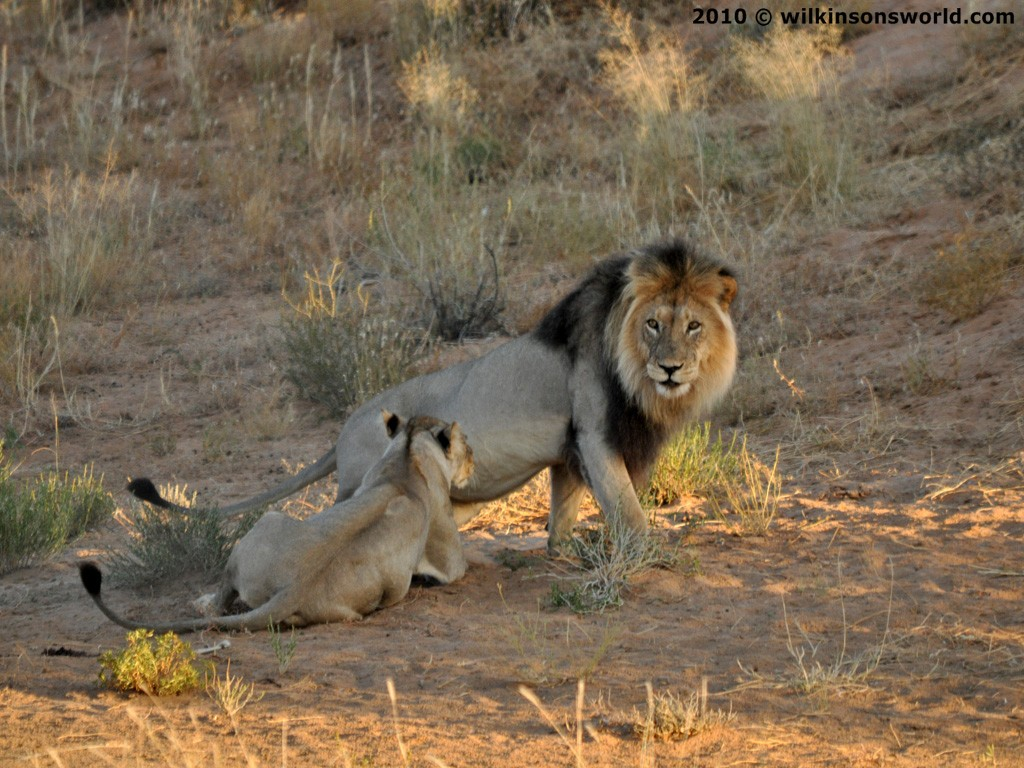 Male Lions Hunting You...