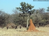Typical termite mound