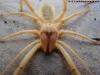 Male Camel Spider