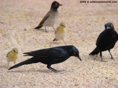 Pale-winged Starlings and Weavers