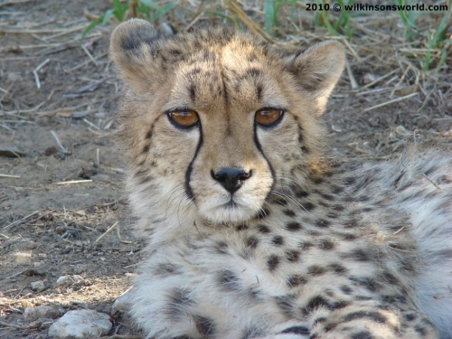 This cheetah had one leg missing