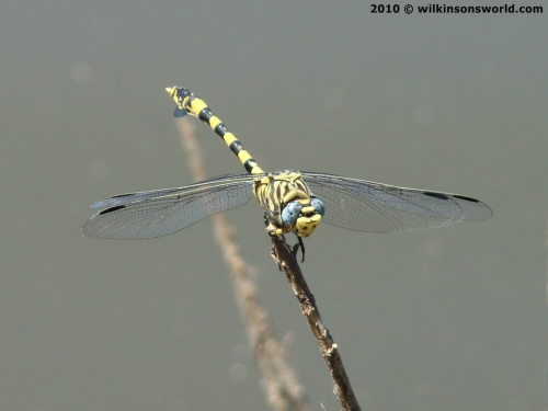 Magnificent dragonfly