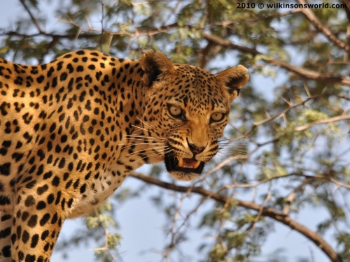 Leopard at feeding time