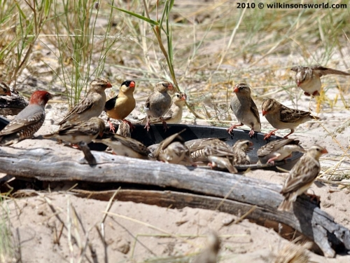Red-headed finches & Shaft-tailed whydahs