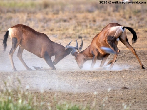 Hartebeest head-butting