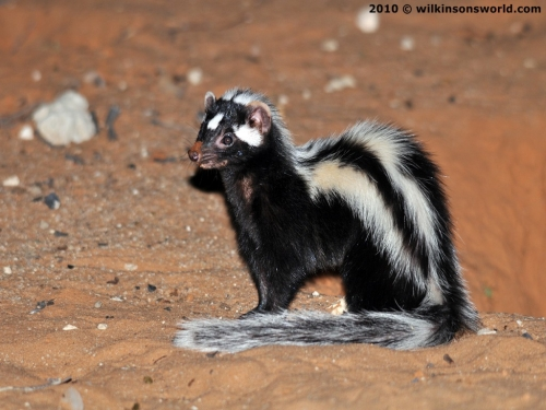 Mother polecat in the open