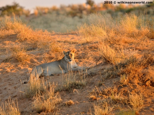Lone lioness