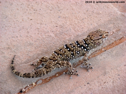Turners Tubercled Gecko