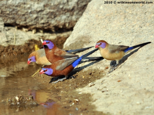 Colourful violet-eared waxbills