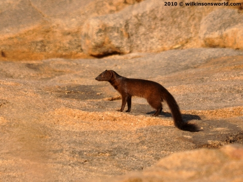 Black mongoose