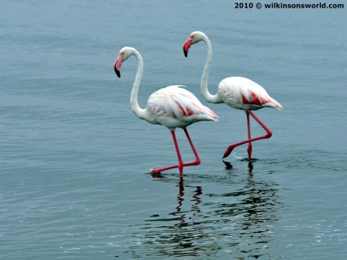 Flamingoes in the lagoon