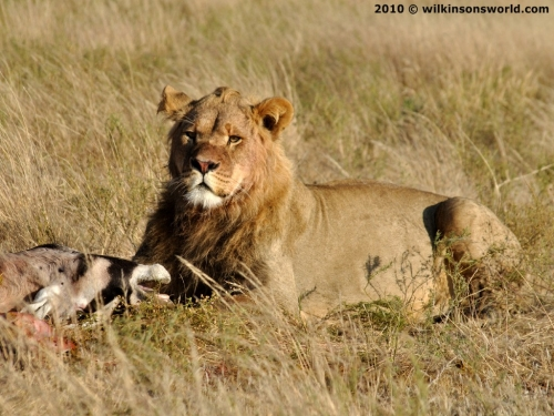 Lion kill in the Kalahari