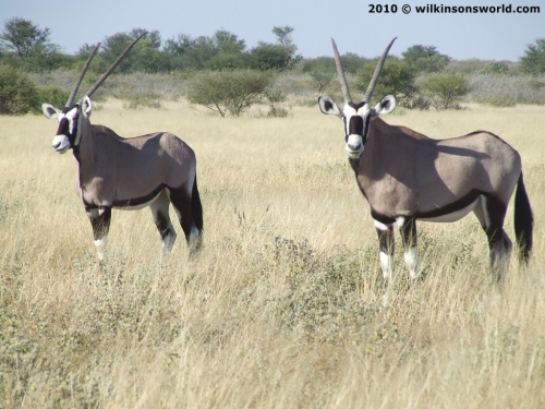 Pair of gemsbok