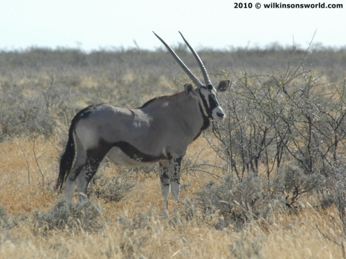 Gemsbok in typical habitat