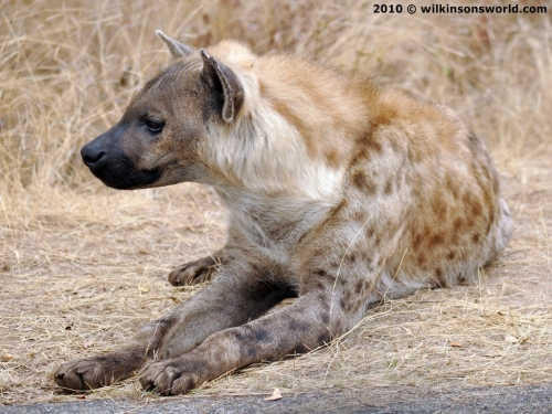 Spotted hyena at the roadside KNP