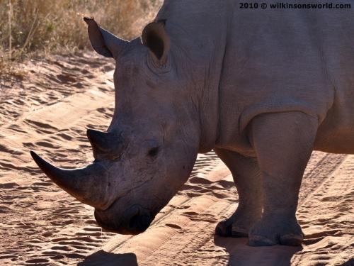Rhino horns - keratin gold