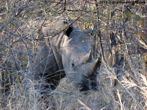 White rhinoceros - Waterberg Namibia
