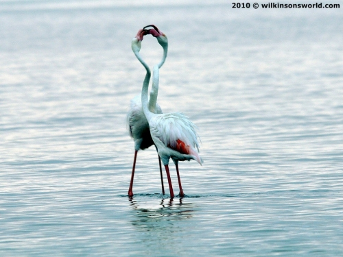 Pretty flamingoes - Walvis Bay