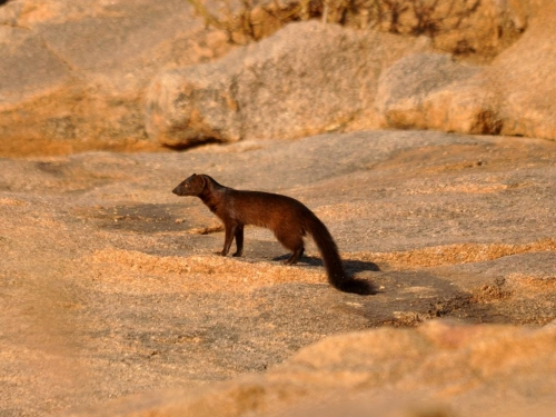 Black mongoose - very rare sighting