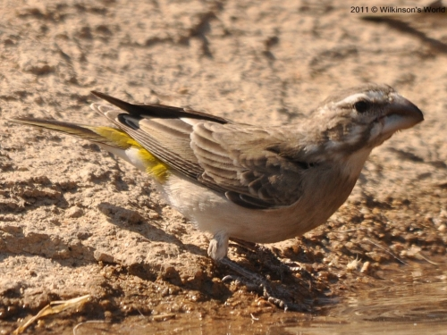 White-throated canary