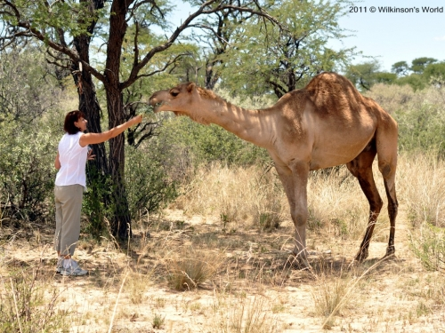 A wary Jane feeding a camel