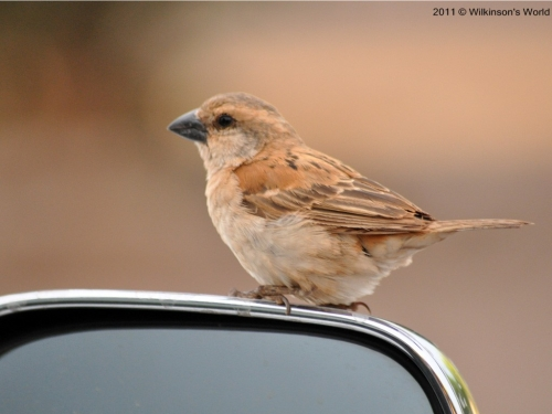 Great sparrow