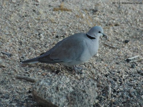 Cape turtle-dove
