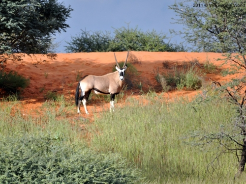 A lone oryx graces the dunes