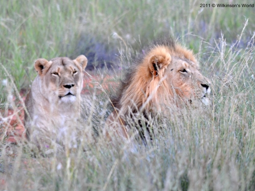 Two lazy lions awaiting nightfall
