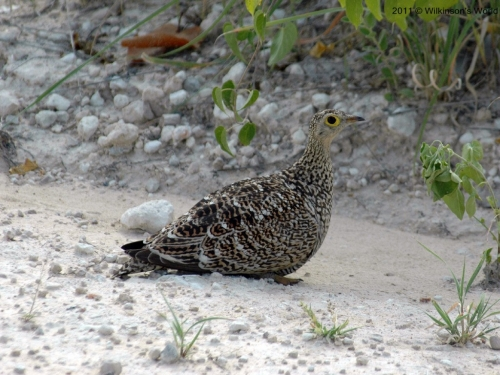 Double-banded sandgrouse (F)