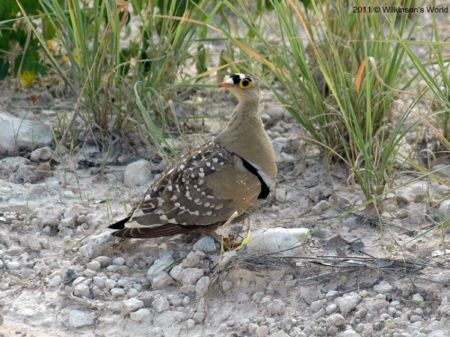 Double-banded sandgrouse (M)
