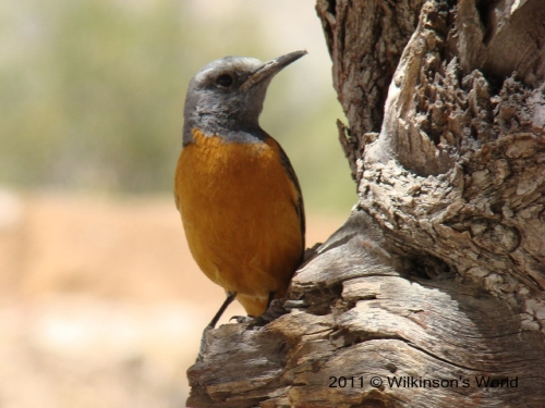 Short-toed rock-thrush (M)