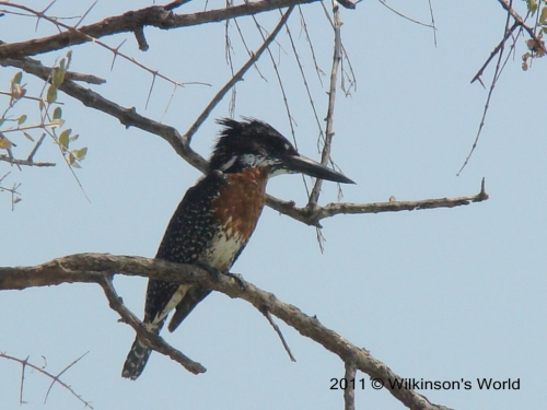 Giant kingfisher (M)
