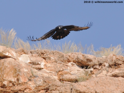 Verreaux's Eagle on the hunt