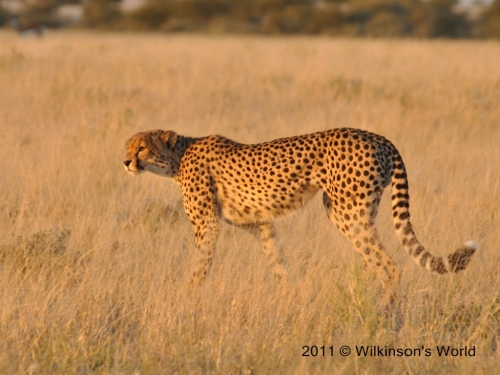 Cheetah at sunrise - Deception Valley Botswana