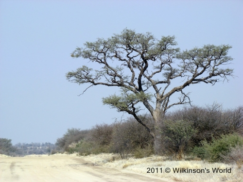 The beautiful Camel Thorn tree
