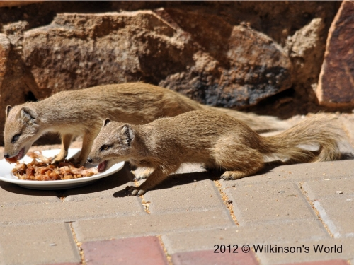 Yellow mongoose - sharing with a friend
