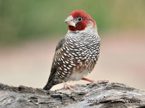 Red-headed-finch